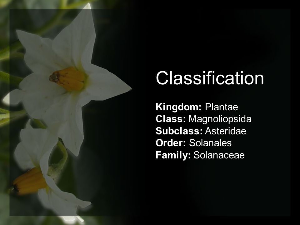 Classification Kingdom: Plantae Class: Magnoliopsida Subclass: Asteridae Order: Solanales Family: Solanaceae