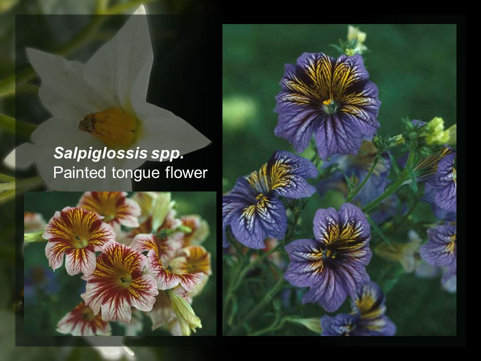 Salpiglossis spp. Painted tongue flower