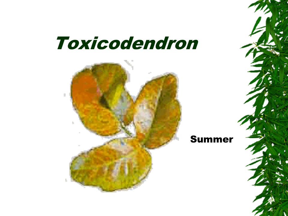 Toxicodendron Summer