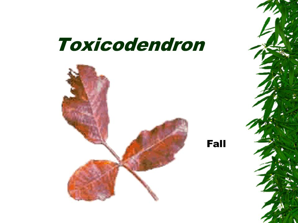 Toxicodendron Fall