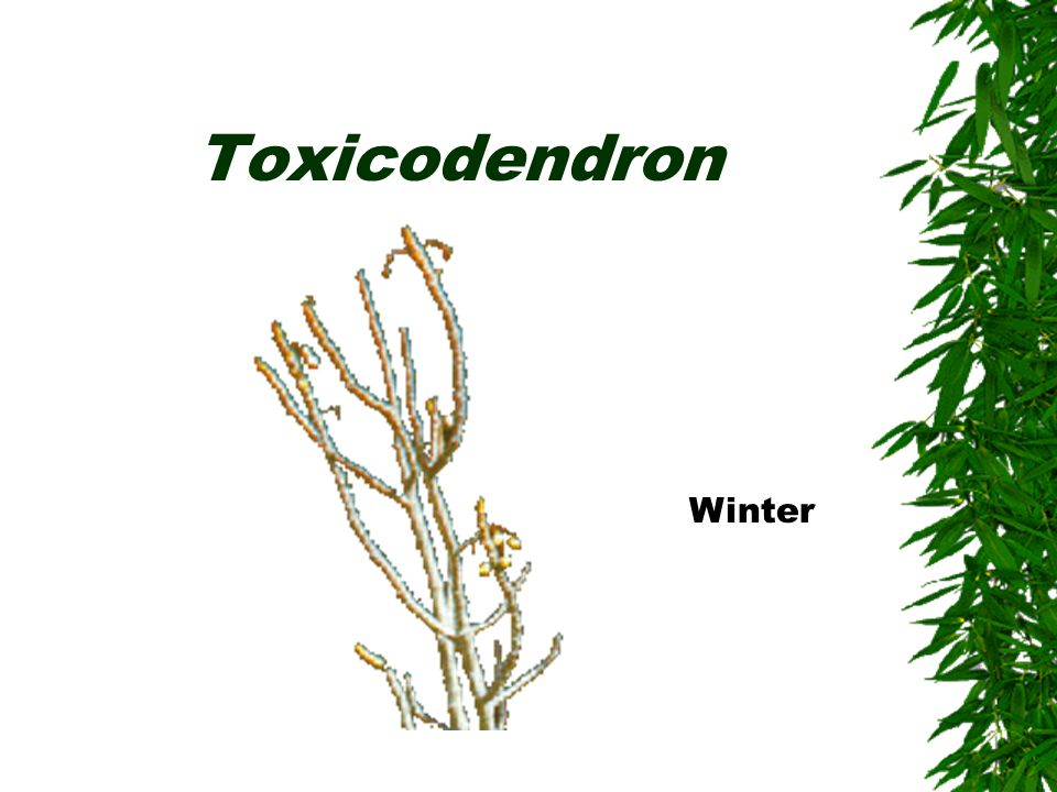 Toxicodendron Winter