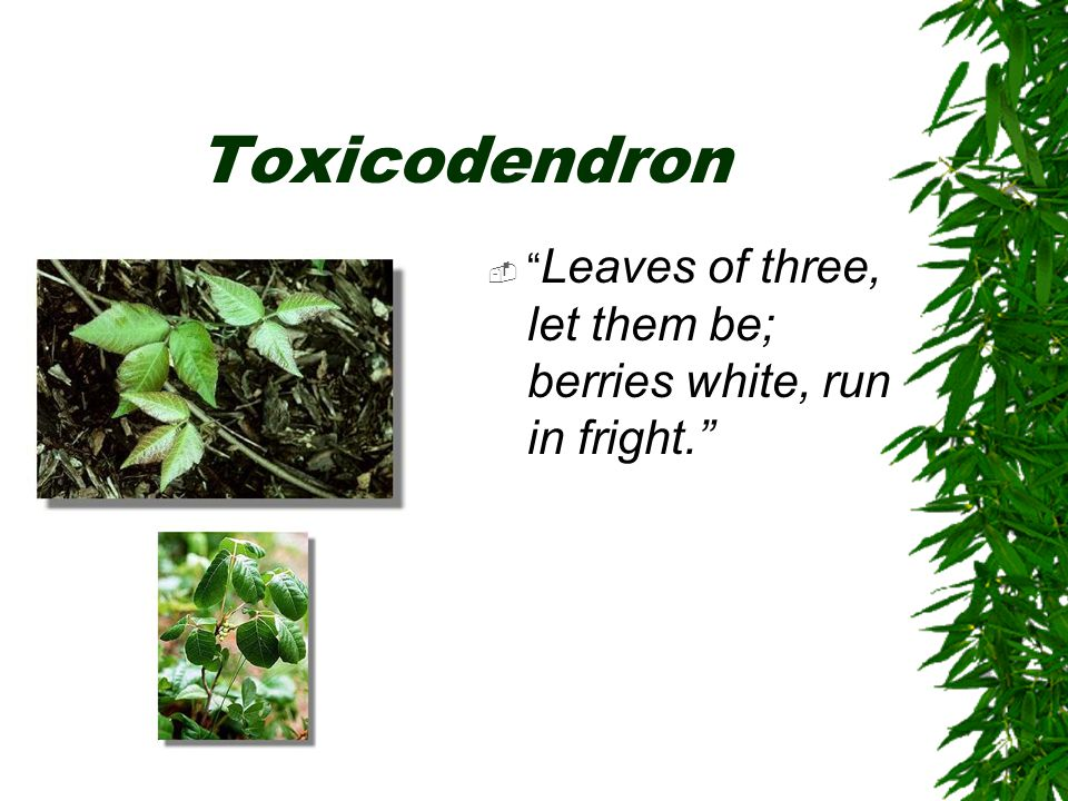 "Toxicodendron  "" Leaves of three, let them be; berries white, run in fright."""