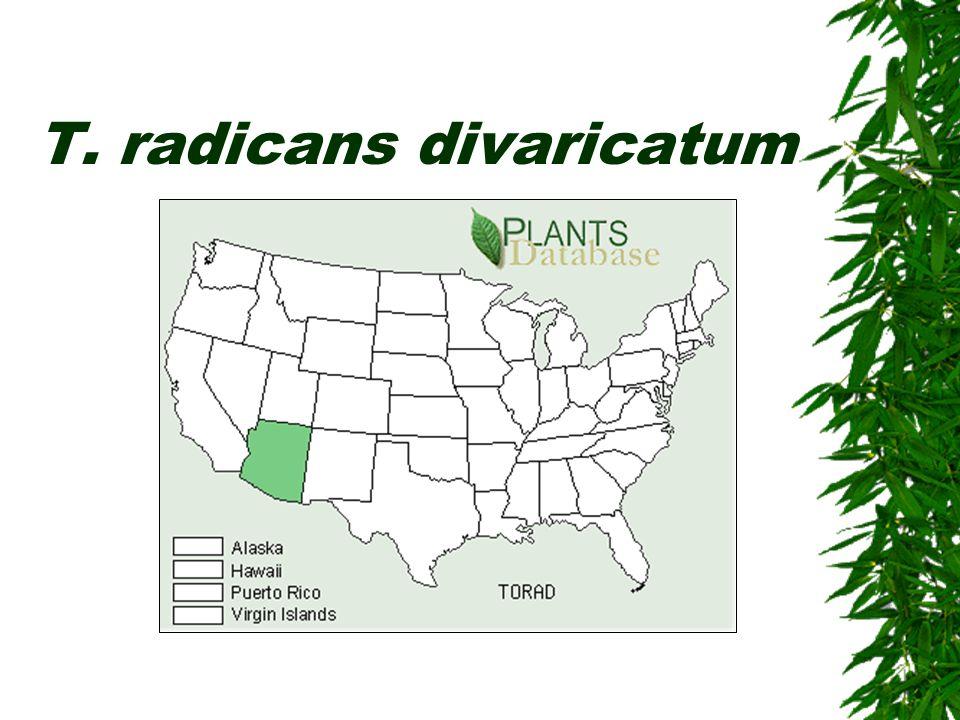 T. radicans divaricatum