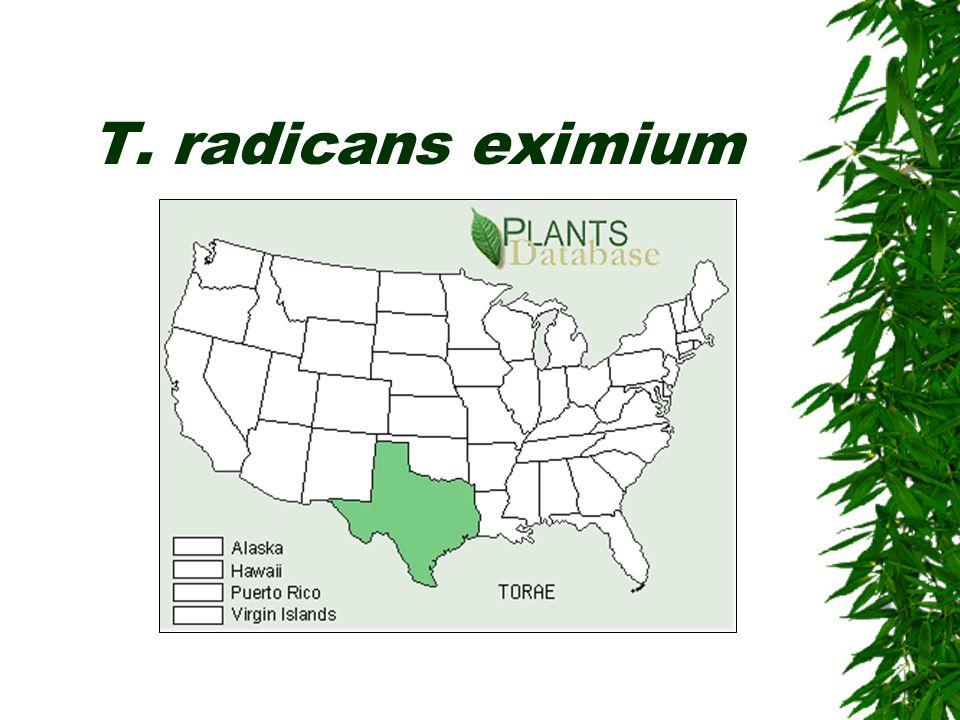 T. radicans eximium