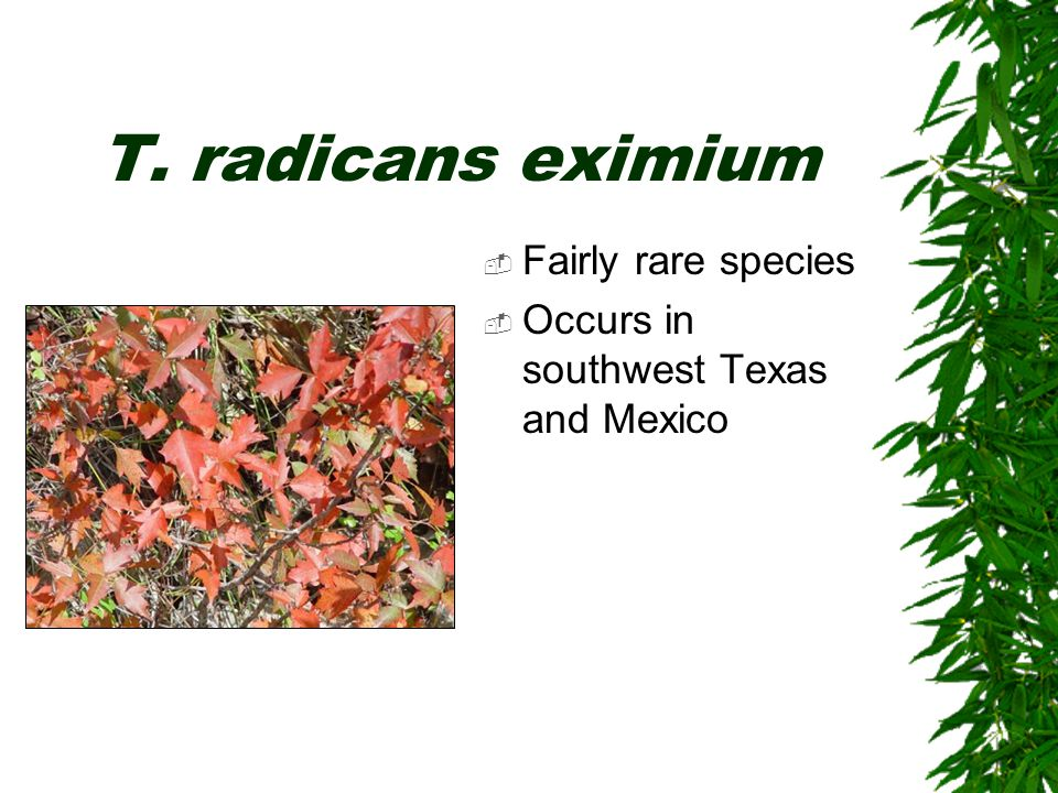  Fairly rare species  Occurs in southwest Texas and Mexico