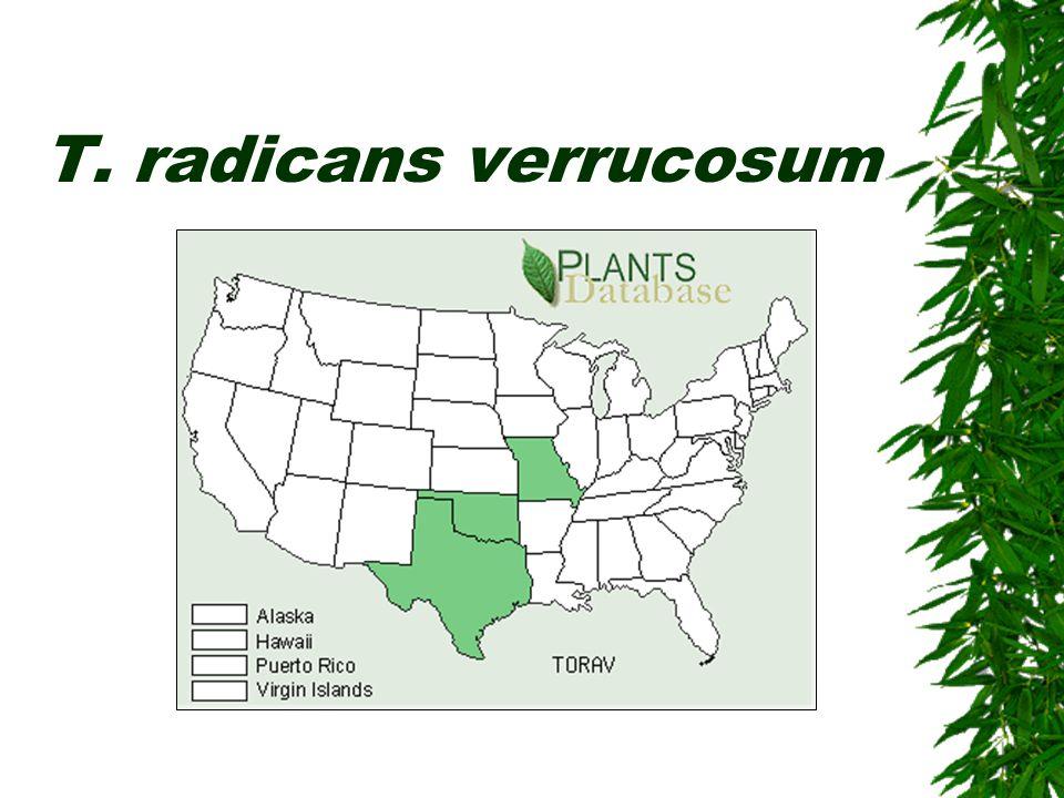 T. radicans verrucosum