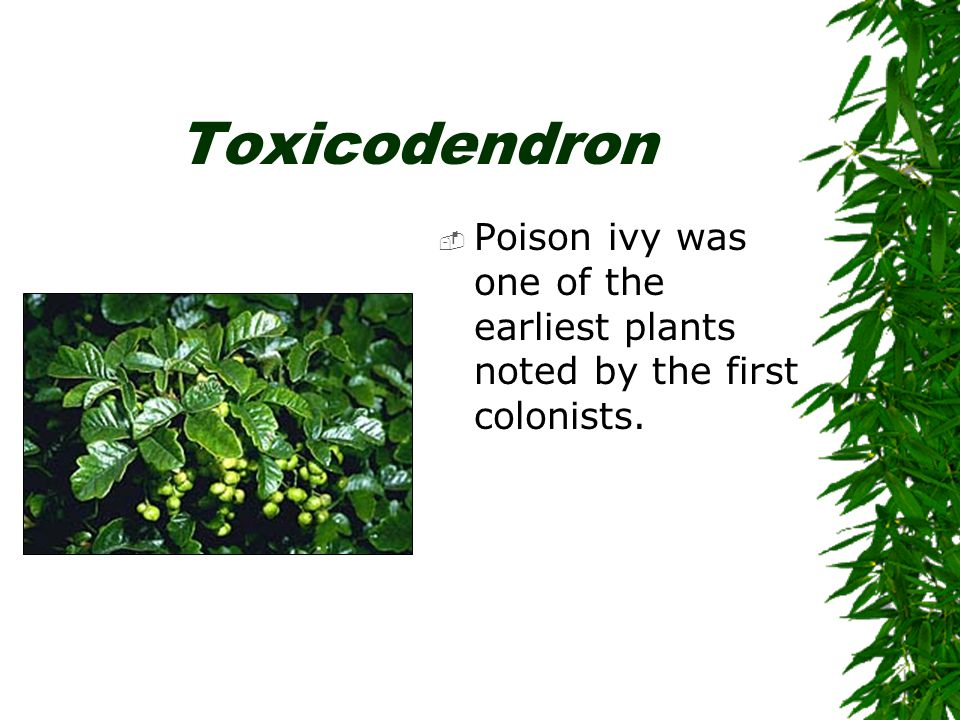 Toxicodendron  In 1609, Captain John Smith is credited with naming the plant poison ivy because he thought it resembled English ivy or Boston ivy.