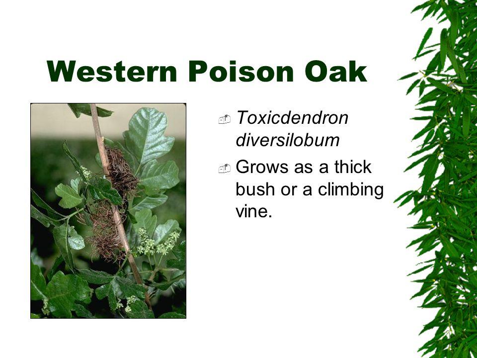 Western Poison Oak  Toxicdendron diversilobum  Grows as a thick bush or a climbing vine.