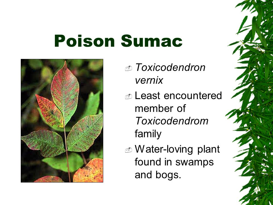 Poison Sumac  Toxicodendron vernix  Least encountered member of Toxicodendrom family  Water-loving plant found in swamps and bogs.