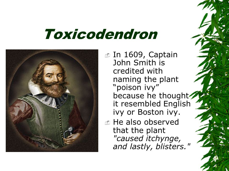 Toxicodendron  If you are sensitized to poison ivy, you are also sensitized to poison oak and poison sumac, and may be sensitized to: –cashew nut shell oil –mango fruit peels –Japanese lacquer.