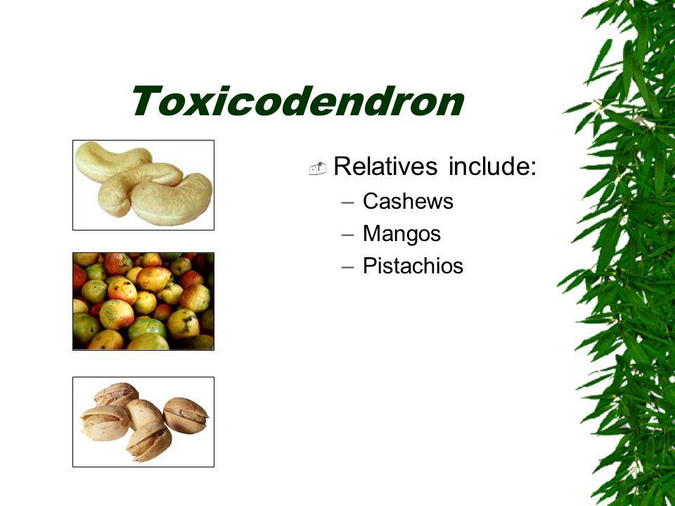 Toxicodendron  Relatives include: –Cashews –Mangos –Pistachios