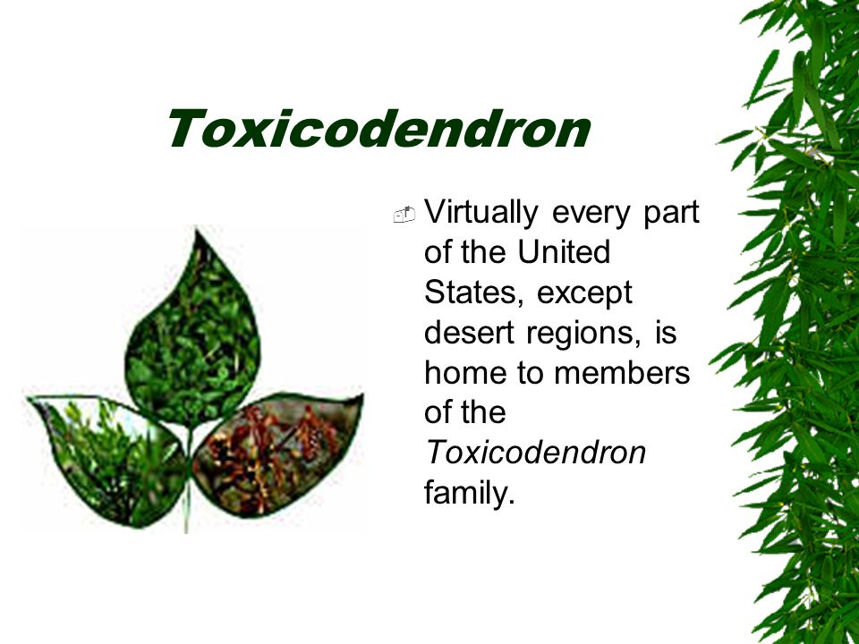 Toxicodendron  Virtually every part of the United States, except desert regions, is home to members of the Toxicodendron family.
