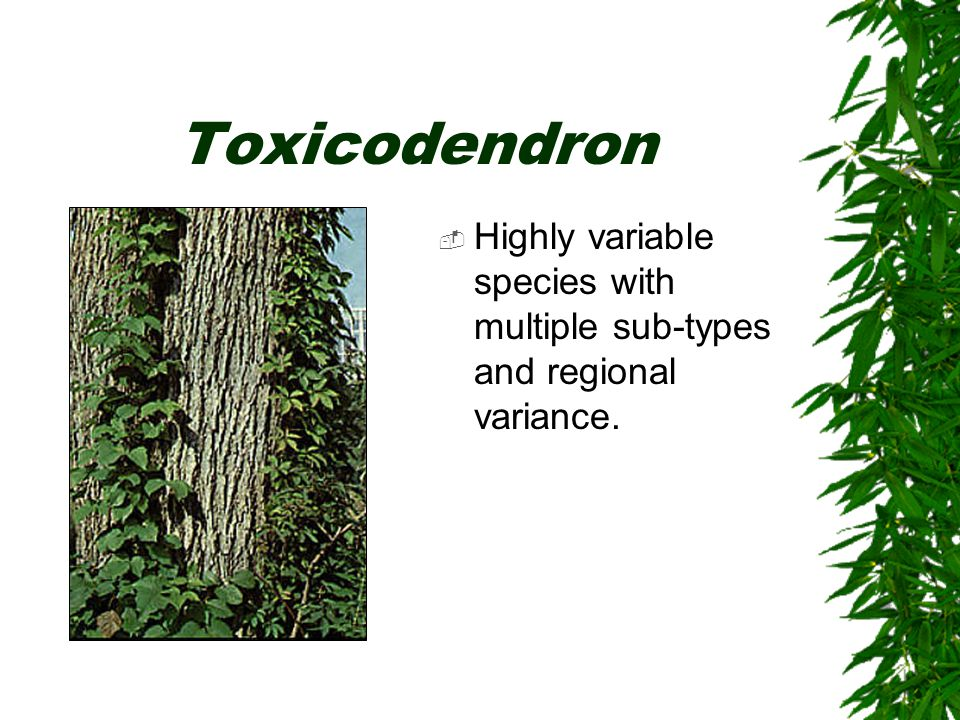 Toxicodendron  Highly variable species with multiple sub-types and regional variance.