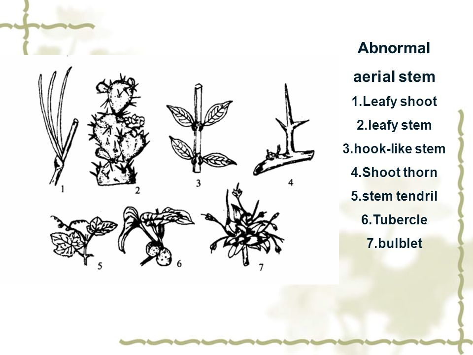 Abnormal aerial stem 1.Leafy shoot 2.leafy stem 3.hook-like stem 4.Shoot thorn 5.stem tendril 6.Tubercle 7.bulblet
