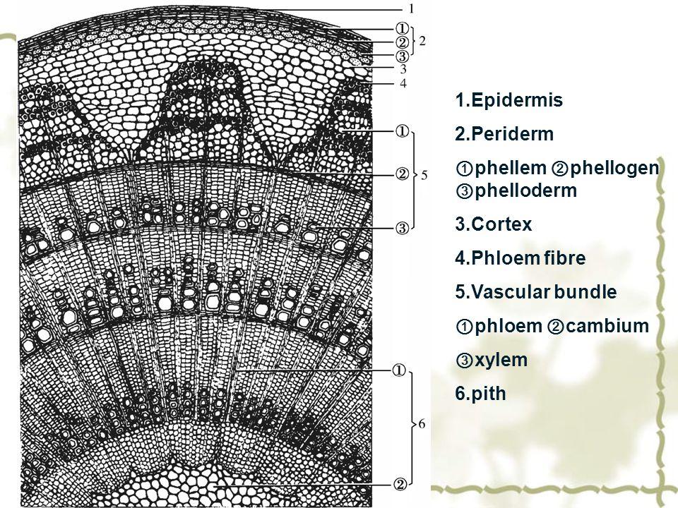 1.Epidermis 2.Periderm ① phellem ② phellogen ③ phelloderm 3.Cortex 4.Phloem fibre 5.Vascular bundle ① phloem ② cambium ③ xylem 6.pith