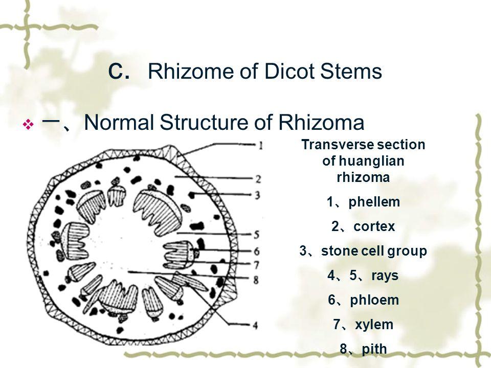 c. Rhizome of Dicot Stems  一、 Normal Structure of Rhizoma Transverse section of huanglian rhizoma 1 、 phellem 2 、 cortex 3 、 stone cell group 4 、 5 、