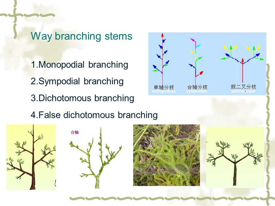 Way branching stems 1.Monopodial branching 2.Sympodial branching 3.Dichotomous branching 4.False dichotomous branching