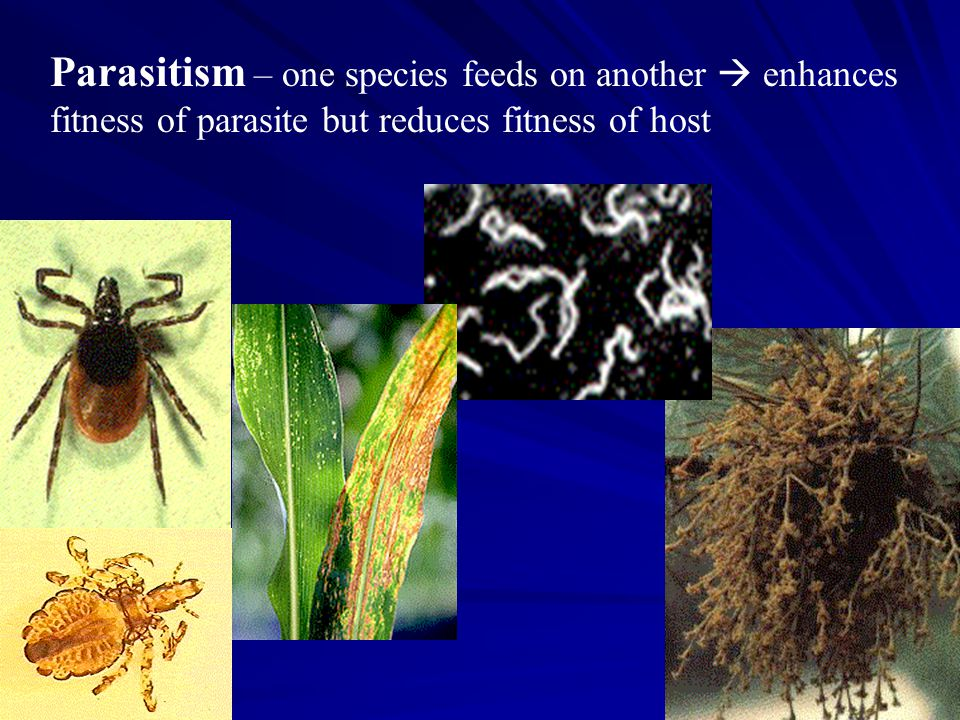 Parasitism – one species feeds on another  enhances fitness of parasite but reduces fitness of host