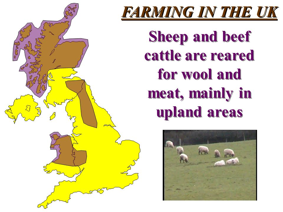 FARMING IN THE UK Sheep and beef cattle are reared for wool and meat, mainly in upland areas Sheep and beef cattle are reared for wool and meat, mainly in upland areas