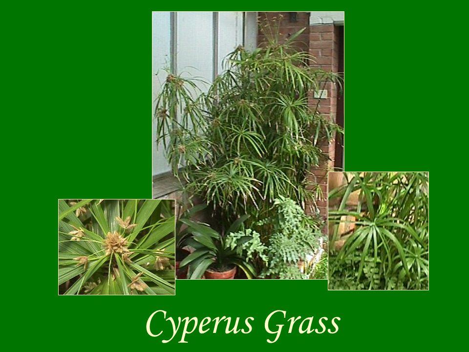 Cyperus Grass