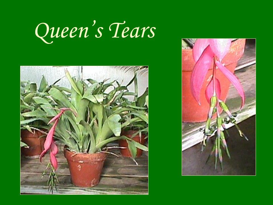 Queen's Tears