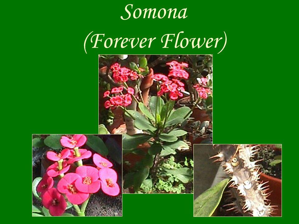 Somona (Forever Flower)
