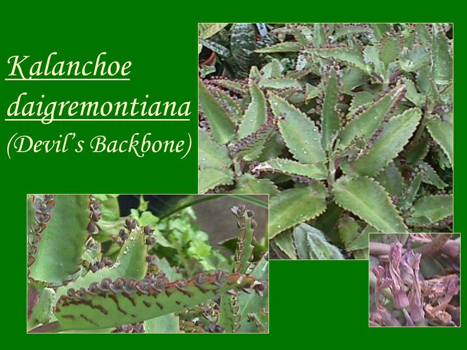Kalanchoe daigremontiana (Devil's Backbone)