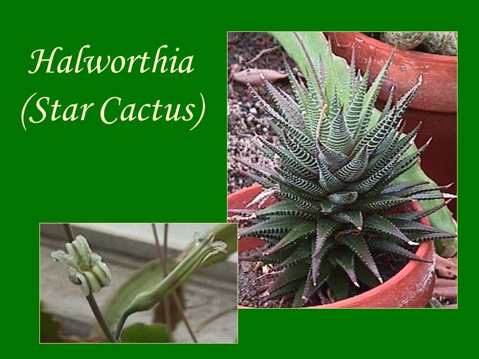 Halworthia (Star Cactus)