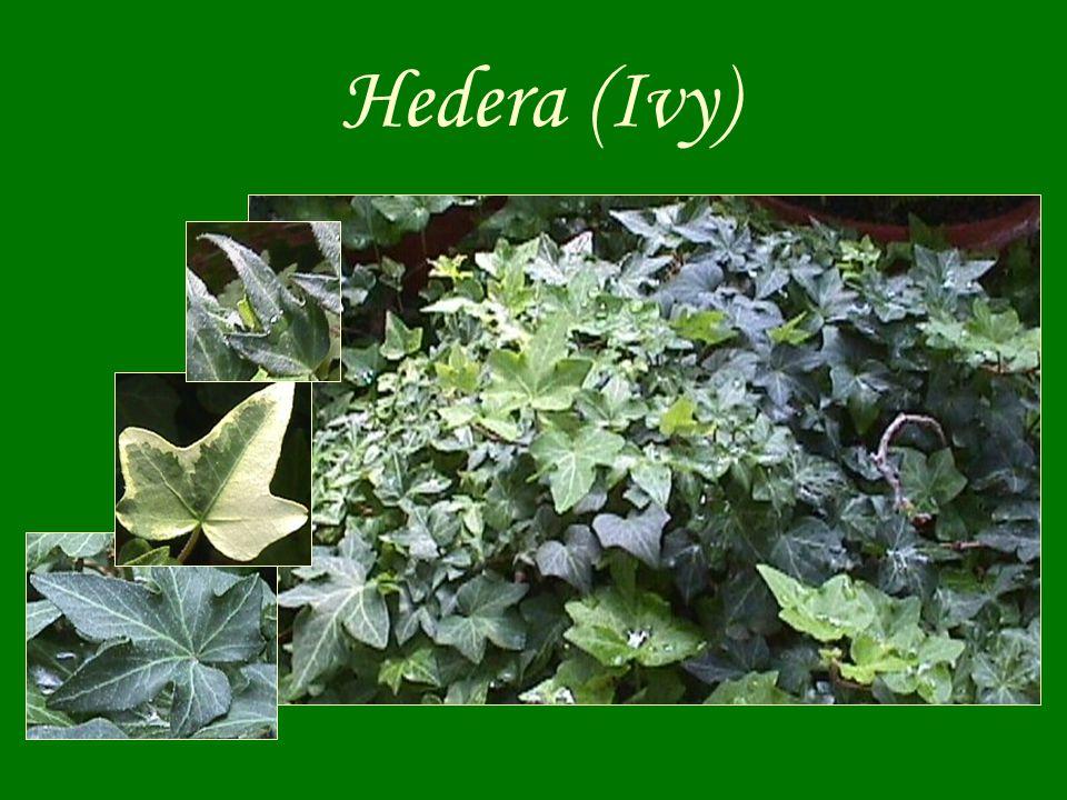 Hedera (Ivy)