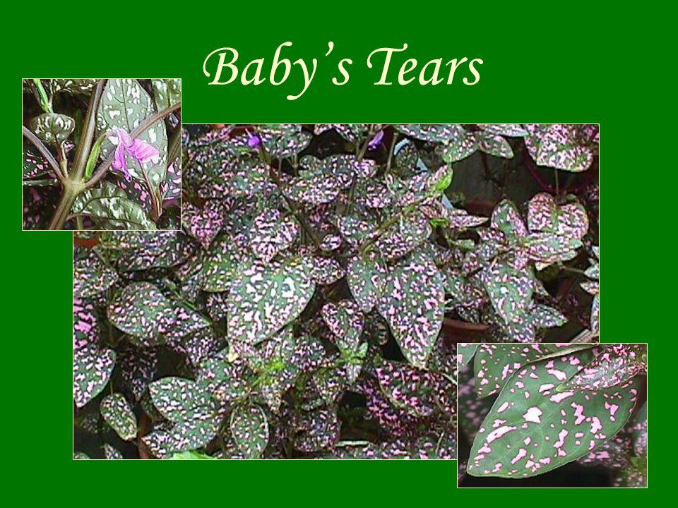 Baby's Tears
