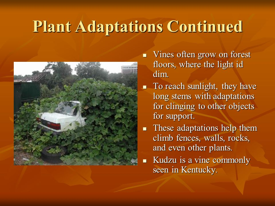 Plant Adaptations Continued Vines often grow on forest floors, where the light id dim. Vines often grow on forest floors, where the light id dim. To r