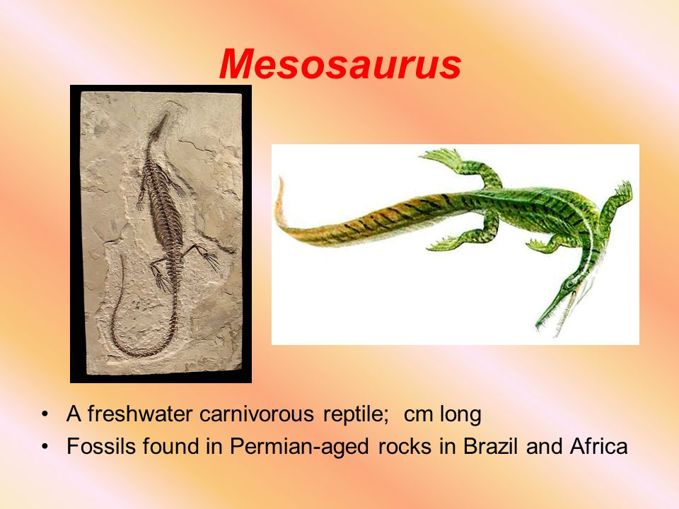 Mesosaurus A freshwater carnivorous reptile; cm long Fossils found in Permian-aged rocks in Brazil and Africa