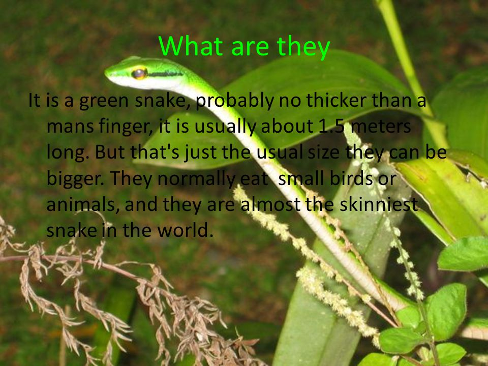 What do they look like They are green snakes that are nearly invisible when they are in the right trees.