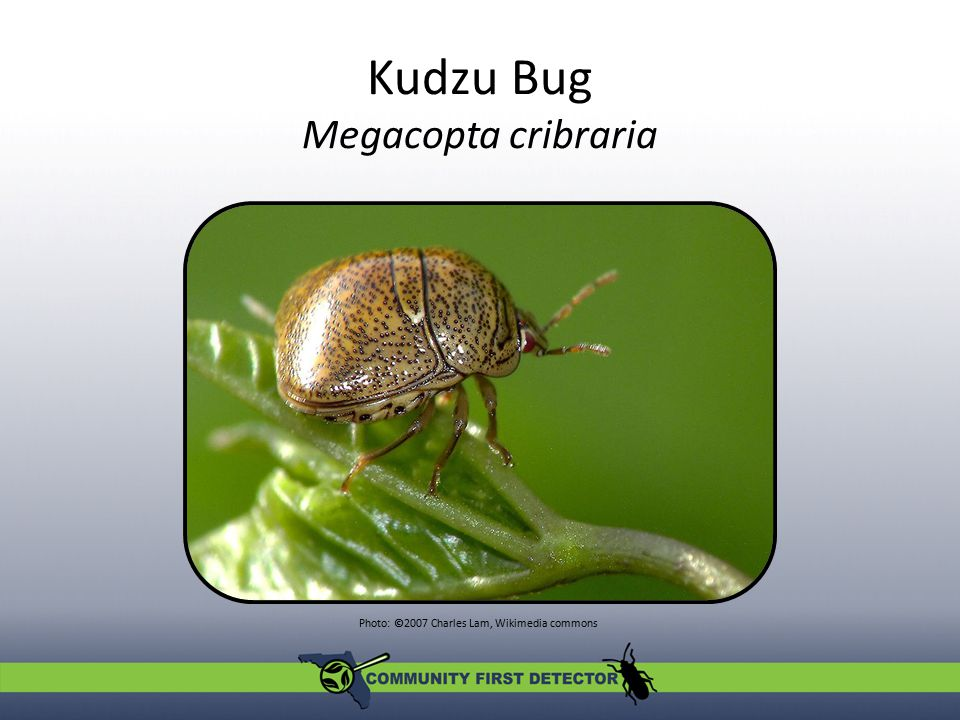 Look-alikes Kudzu bug Megacopta cribraria Shield-backed bug Orsilochides guttata Thyreocorid Galgupha ovalis Photos: Lilyconnor, wiki.bugwood.org; bugguide.net; Don Griffiths, Spencer Entomological Collection, Beaty Biodiversity Museum, UBC