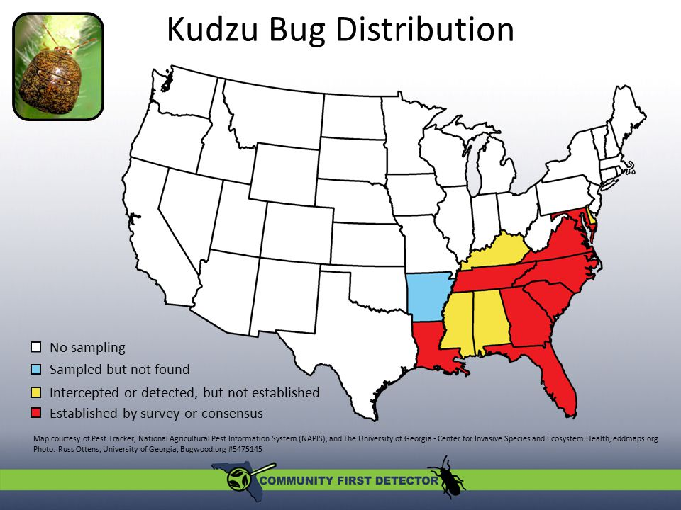 Susceptible Plants In the United States: Kudzu Soybean and other legumes Corn Sweet potato Wisteria Wheat In native regions: NOT an agricultural pest Photo: Michasia Harris, University of Georgia, Bugwood.org #5473918 Kudzu bug on soybean