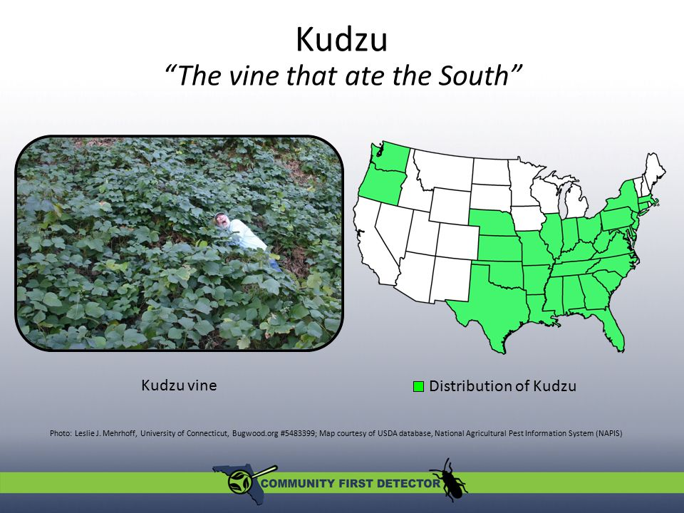 Kudzu The vine that ate the South Photo: Leslie J.