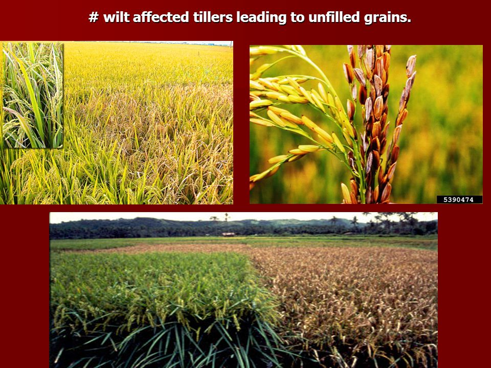 # wilt affected tillers leading to unfilled grains.