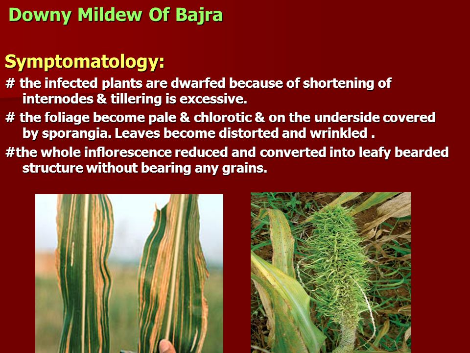 Downy Mildew Of Bajra Symptomatology: # the infected plants are dwarfed because of shortening of internodes & tillering is excessive.