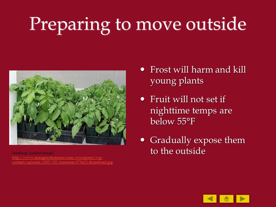 Preparing to move outside Frost will harm and kill young plants Frost will harm and kill young plants Fruit will not set if nighttime temps are below