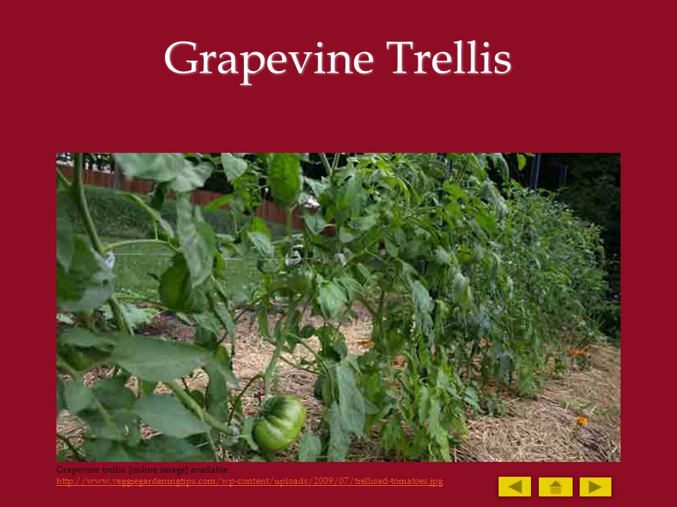 Grapevine Trellis Grapevine trellis [online image] available http://www.veggiegardeningtips.com/wp-content/uploads/2009/07/trellised-tomatoes.jpg