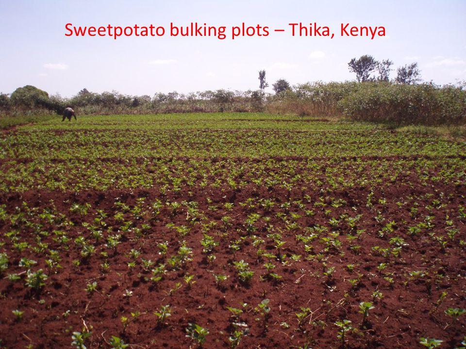 Sweetpotato bulking plots – Thika, Kenya