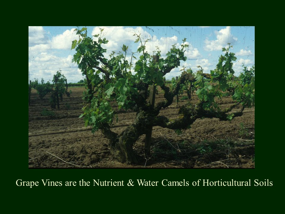 Grape Vines are the Nutrient & Water Camels of Horticultural Soils
