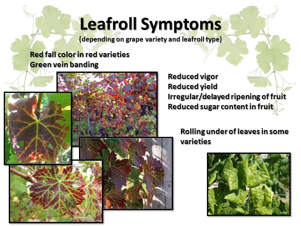 Leafroll Symptoms (depending on grape variety and leafroll type) Red fall color in red varieties Green vein banding Rolling under of leaves in some varieties Reduced vigor Reduced yield Irregular/delayed ripening of fruit Reduced sugar content in fruit