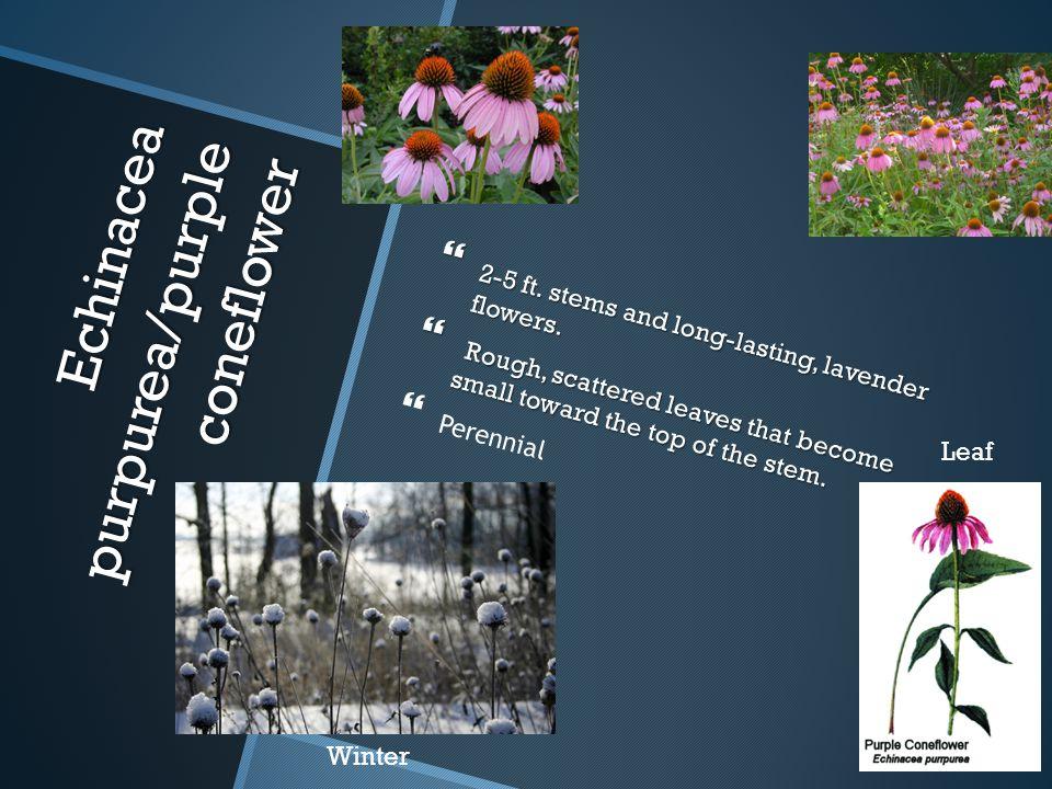 Echinacea purpurea/purple coneflower Echinacea purpurea/purple coneflower  2-5 ft. stems and long-lasting, lavender flowers.  Rough, scattered leave