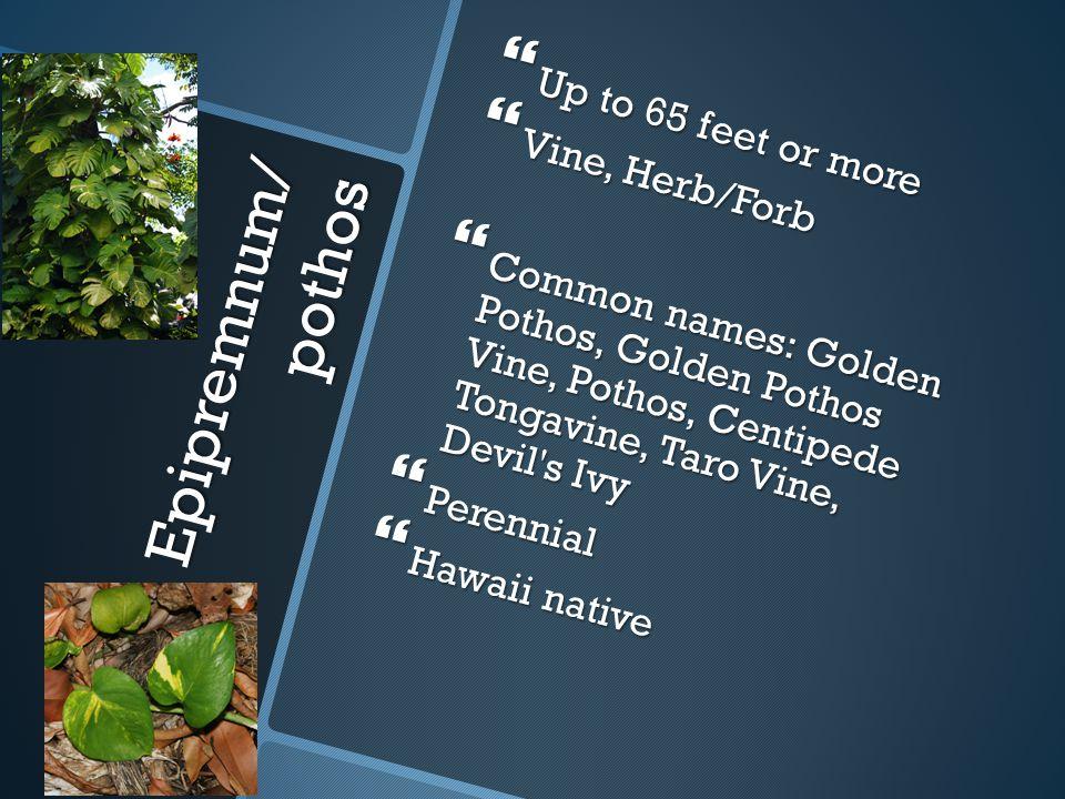 Epipremnum/ pothos  Up to 65 feet or more  Vine, Herb/Forb  Common names: Golden Pothos, Golden Pothos Vine, Pothos, Centipede Tongavine, Taro Vine