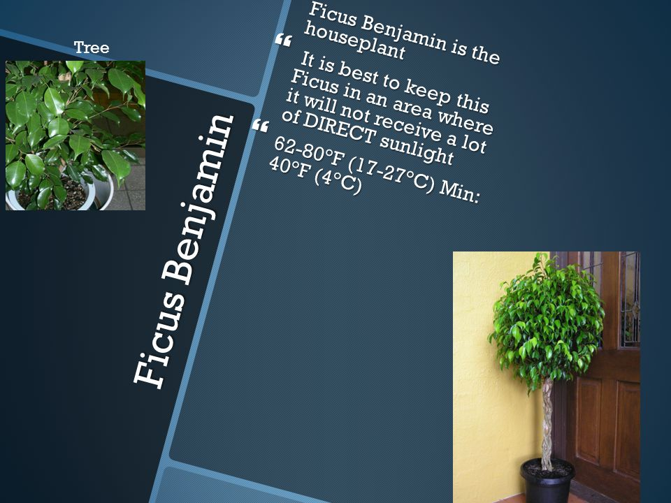 Ficus Benjamin  Ficus Benjamin is the houseplant  It is best to keep this Ficus in an area where it will not receive a lot of DIRECT sunlight  62-80°F (17-27°C) Min: 40°F (4°C) Tree