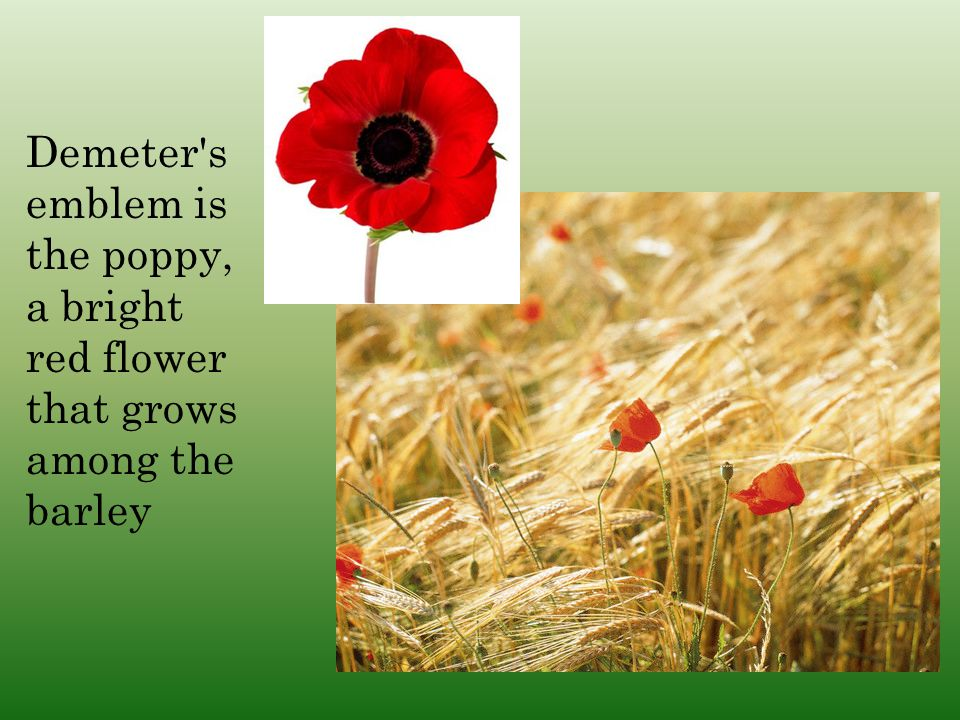 Demeter s emblem is the poppy, a bright red flower that grows among the barley