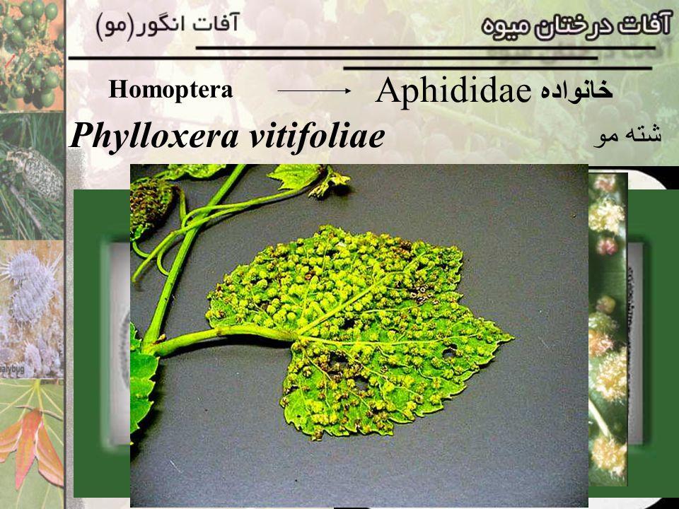 Homoptera Aphididae خانواده Phylloxera vitifoliae شته مو