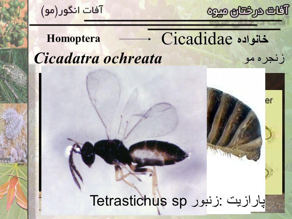 Homoptera Cicadidae خانواده Cicadatra ochreata زنجره مو پارازیت :زنبور Tetrastichus sp