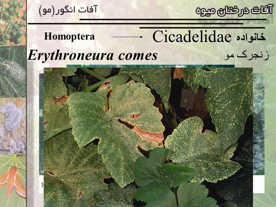 Homoptera Cicadelidae خانواده Erythroneura comes زنجرک مو
